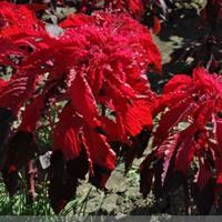 供应红叶苋、蝴蝶花、虎耳草