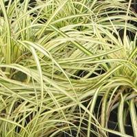 供应金线苔草、金心一叶兰、金焰绣线菊