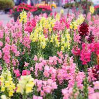 金鱼草杯苗、金鱼草种子.各类花卉种子快乐赛车玩法种子草籽