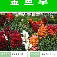 金鱼草的繁殖方法   常年供应草花种子苗木种子草籽