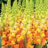 金鱼草都有什么价值  常年供应草花种子苗木种子草籽