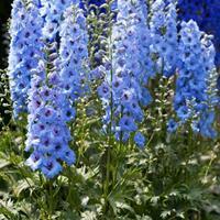 飞燕草杯苗、飞燕草种子.各类花卉种子苗木种子草籽