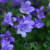 风铃草杯苗、风铃草种子.各类花卉种子快乐赛车玩法种子草籽