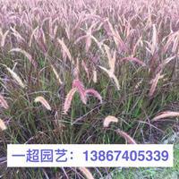 紫叶狼尾草产地直销