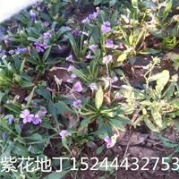 紫花地丁小苗