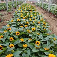 向日葵种植中心产地报价