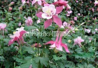 定州市永兴苗圃场低价销售金山绣线菊,各种精品苗木