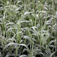 定州玉带草,玉带草报价,玉带草繁育基地
