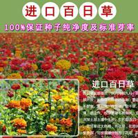 2018新百日草种子,大量销售,价格优惠!