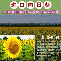 观赏向日葵,食用向日葵,油用向日葵种子,大量销售!