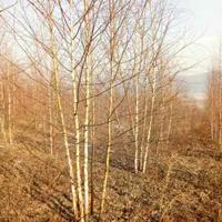 出售丛生白桦树,山桃,花楸