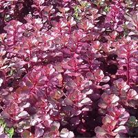 红叶景天直销,红叶景天价格,红叶景天供应商