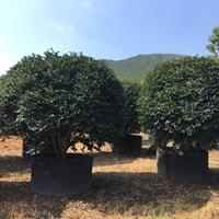 福建茶梅球-精品茶梅