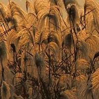 芦荻,花叶芦荻,芦荻竹,芦竹,各种水生植物
