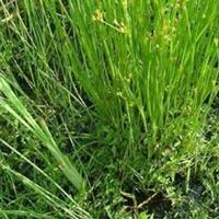 各种水生植物,灯芯草、蔺草、龙须草、野席草、马棕根