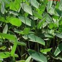 各种水生植物,再力花、 水竹芋,水莲蕉,塔利亚