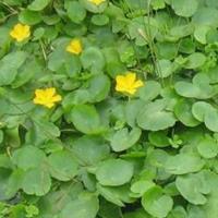 各种水生植物,荇菜、莕菜、莲叶莕菜、驴蹄莱、水荷叶