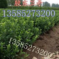 胶东卫矛价格高度30-40-50公分胶东卫矛绿篱苗胶东卫矛球
