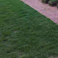 供应优质马尼拉,台北草、菲律宾草、半细叶结缕草,浙江*低价