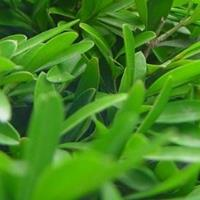 供應雀舌黃楊、匙葉黃楊