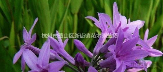供应紫娇花、洋韭、洋韭菜、野蒜、非洲小百合
