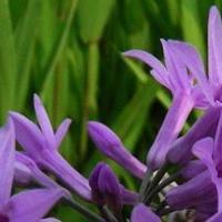 供應紫嬌花、洋韭、洋韭菜、野蒜、非洲小百合