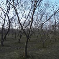板栗樹批發基地在哪
