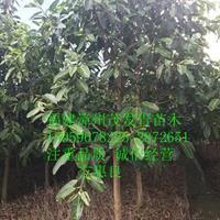 福建漳州批发 高山榕胸径8CM地苗 价格美美的