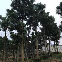 秋枫重阳木各种规格供应
