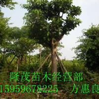 福建漳州地区专业供应精品  高山榕16CM 精品货