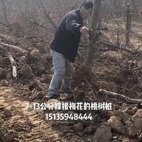 绛县8公分梅花桩价格·绛县10公分梅花树报价图片