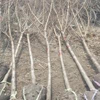 批发碧桃6公分,紫荆,栾树,桂花等苗木