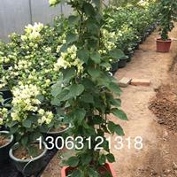 1-1.3米高櫻花粉三角梅  價格65