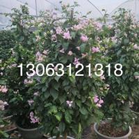 粉花三角梅  高度1米 价格100