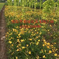 优质 玉簪、鸢尾、萱草、金叶麦冬、美人蕉、葱兰、爬山虎