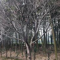 浙江长兴供应6-15精品红枫