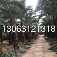 杆高3米福建中东海枣(杆高3米,冠幅4米,价格700)