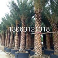 中东海枣基地直销(杆高4米,冠幅4米,价格1000)