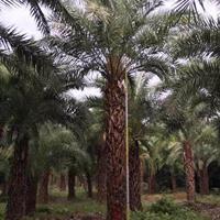 福建中东海枣(杆高2米,冠幅4米,价格320)