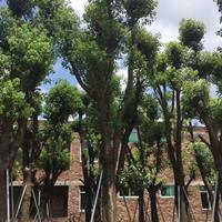 大量供应香樟(高度4米5,冠幅1米5,价格650)