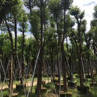 福建香樟大量供应(高度4米,冠幅1米5,价格350)