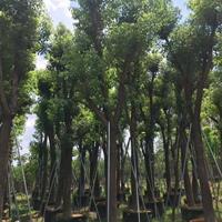 大量供应福建香樟(高度3米5,冠幅1米3,价格230)