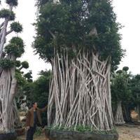 造型大榕树、榕树造型景观