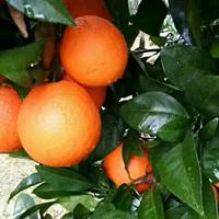 脐橙,广西脐橙苗,桔子,广西桔子苗、橘子苗、橙子苗