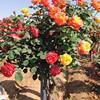 树状月季、树桩月季大量供应