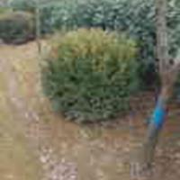小叶黄杨床苗,小叶黄杨分栽苗,小叶黄杨工程苗,小叶黄杨球
