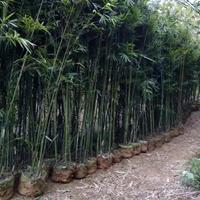 江西省南昌市哪里有刚竹,紫竹,黄金竹、琴丝竹、观音竹凤尾竹卖