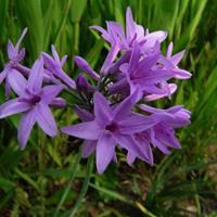 [供应]紫娇花供应/紫娇花图片
