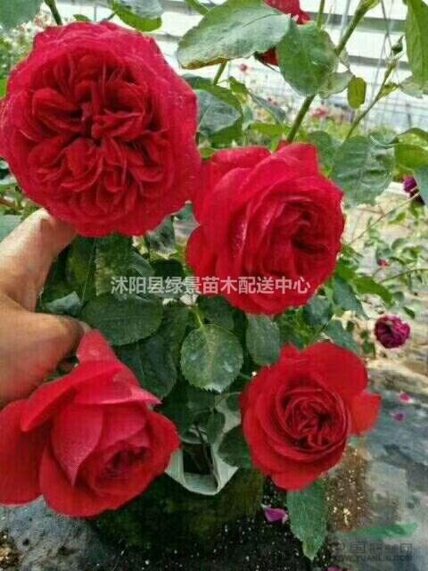 红花月季基地价格,红帽月季,欧洲月季,蔷薇月季,红花蔷薇攀爬