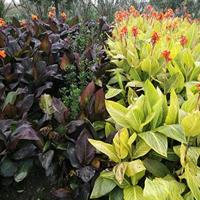 萧山花灌木一站式供应商:美人蕉/花叶络石/桃叶珊瑚/天目琼花